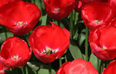 Natural backgrounds: tulips — Stock Photo