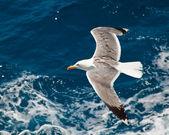Vliegende zeemeeuw — Stockfoto