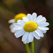Wild camomile flowers — Stock Photo