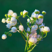 Wild camomiles flowers — Stock Photo
