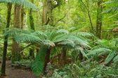 Rain forest, Victoria, Australia — Stock Photo