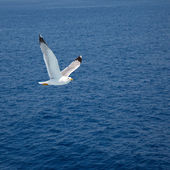 Flying seagull — Foto Stock