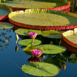 Water lily and water platter - Stock Photo