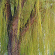 Weeping willow tree — Stock Photo #6161619