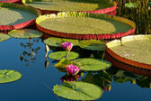 Water lily and water platter — Stock Photo