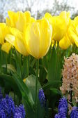 Closeup of yellow tulips — Stock Photo