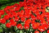 Red tulips, Keukenhof gardens — Stock Photo