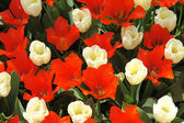 Natural backgrounds: red and white tulips — Stock Photo