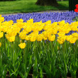 Spring flower bed in Keukenhof — Stock Photo #6200088