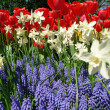 Spring flower bed in Keukenhof - Stock Photo