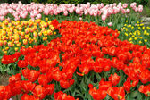 Spring flower bed in Keukenhof — Stock Photo