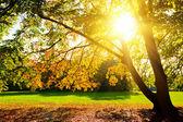 Sunlighted yellow autumn tree — Stock Photo
