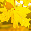 Stock Photo: Yellow autumn maple leaves