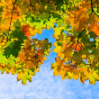 Stock Photo: Multicolored autumn maple leaves