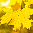 Yellow autumn maple leaves — Stock Photo