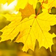Yellow autumn maple leaves — Stock Photo #6458892
