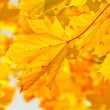 Yellow autumn maple leaves in sunlight — Stock Photo