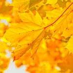 Yellow autumn maple leaves in sunlight — Stock Photo