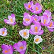 Close-up of wild crocus flowers — Stock Photo