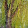 Blooming weeping willow tree — Stock Photo #6717023