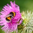 Bumble bee collecting pollen on pink flower — Stock Photo