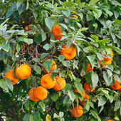 Oranges on orange tree — Stock Photo