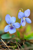 Close-up of wild blue flower — Stock Photo