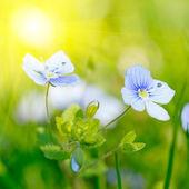 Bright image of little blue flower — Stock Photo