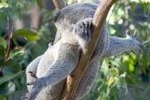 Lazy Koala — Stock Photo