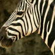 A Zebra - Foto de Stock  