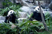 Panda Bears — Stock Photo