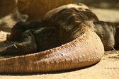 Komodo Dragon — Stock Photo