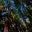 Tall Trees — Stock Photo