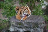 A Tiger Feeding — Stock Photo