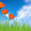 Poppies and grass with sky — Stock Photo