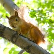 Squirrel at tree — 图库照片