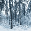 Winter forest. Tinted picture - Stock Photo