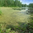 Pond with duckweed - Stock Photo