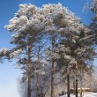 Pines under hoar-frost - Stock Photo