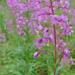 Fireweed close-up - Stock Photo