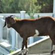 Goat at balcony - Stock Photo