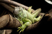 Iguana on a branch I. — Stock Photo
