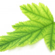 Green leaf - Photo