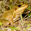 A frog — Stock Photo