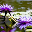 Stock Photo: Bloom lotus