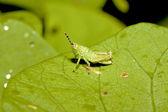 Locust nymphae — Stock Photo