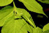 Mantis religiosa — Foto de Stock