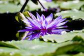 Lotus bloom — Photo