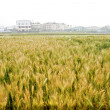 Wheat farm — Stockfoto