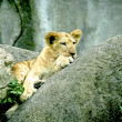 A young lion cub — Stock Photo #5952872